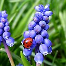 Grape Hyacinth & visiting ladybird by hjaynefoster