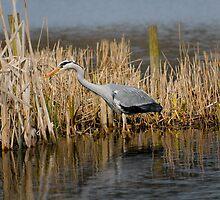 Grey Heron RSPB Leighton Moss by Stuart1882