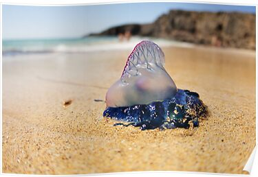 Portuguese Man of War by Bel Jones