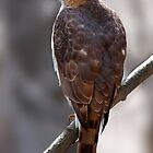 Cooper&#x27;s Hawk profile by Jim Cumming