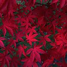Autumn Red by Barry Goble