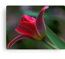 Tulip - Just Before Sunset -- Bridgton,  maine Canvas Print