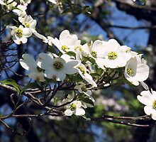 """""""The Prolific Dogwood Tree"""" by franticflagwave"""