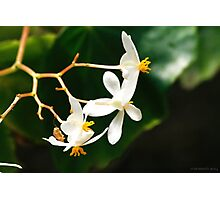 Begonia Vincentina  Photographic Print