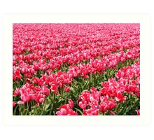 Acres of Pink Tulips Art Print