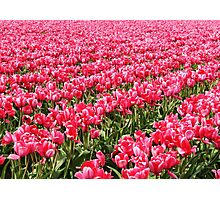 Acres of Pink Tulips Photographic Print