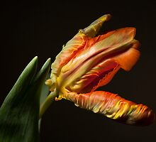 The Parrot Tulip by Kasia-D