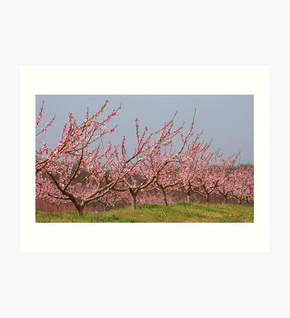 Pink Peach Orchard Art Print