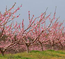 Pink Peach Orchard by Kelly Chiara