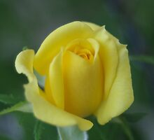 Yellow Rose by rom01