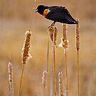 Red Winged Black Bird by John  Sperry