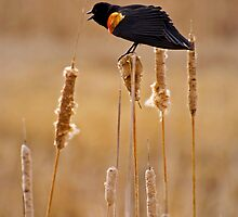 Red Winged Black Bird by John  Sperry