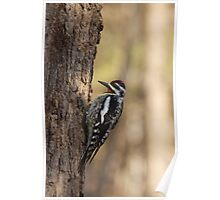 Woodpecker waiting to peck Poster