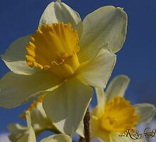 Daffodils in Spring  by kelleybear