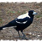 Our Little Aussie Magpie by Elaine Game