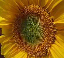 Center of the sunflower by CherylC