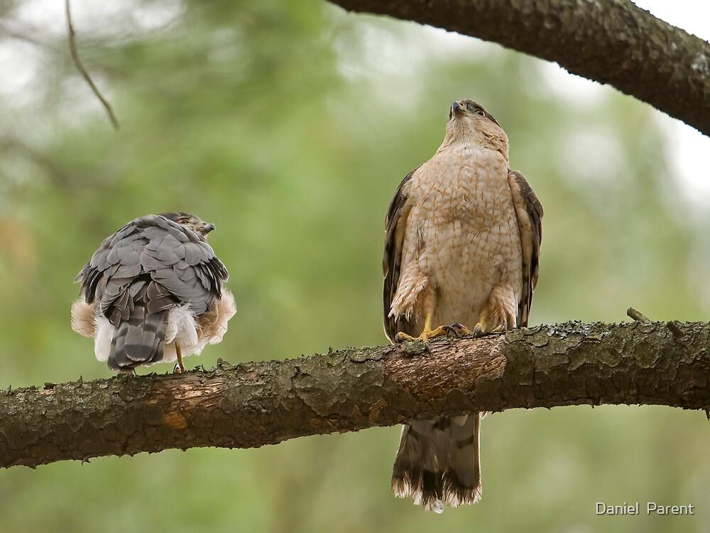 Cooper's Hawk Pair by Daniel  Parent