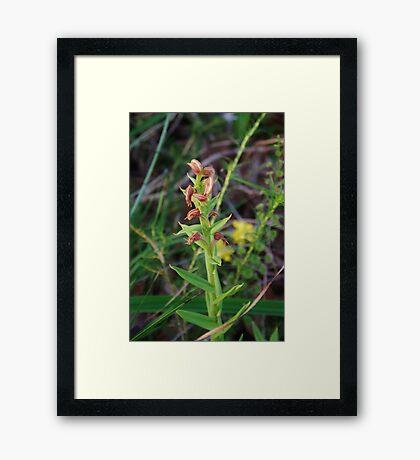 Red Beak Orchid (Pterostylis sanguinea) Framed Print