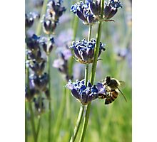 Bee on lavender flowers. Snowflake, Arizona, USA. Photographic Print