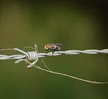 Fly on a barbed wire fence by Julieholl