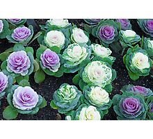 Cabbage flowers Photographic Print
