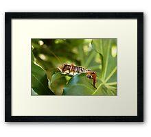 Weta, native New Zealand grasshopper Framed Print