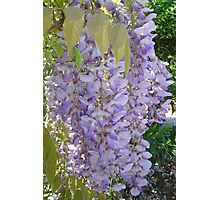 Wisteria Racemes Photographic Print