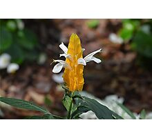 Golden Shrimp Plant at Gibbs Gardens Photographic Print