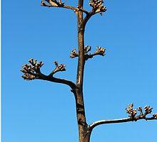 Century Plant Agave. Chiricahua Mountains, Arizona, USA. by isaacflater