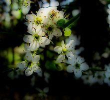 Hawthorn Blossom by Karen  Betts