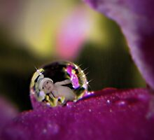 Primrose Baby Dew Drop by Shelly Harris