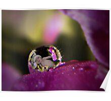 Primrose Baby Dew Drop Poster