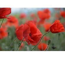 Red Poppies Blooming Photographic Print