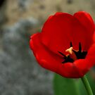 Red Tulip by love2shoot