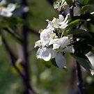 Apple Blossoms  by RavenSoul2