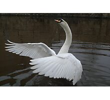 Swan at Rodley #2 Photographic Print