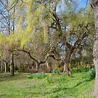 Weeping Willow: Springtime at Bushey Park, Hampton Court, by DonDavisUK
