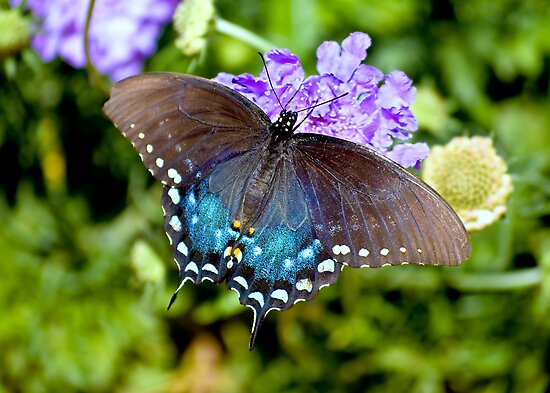 Pipevine Swallowtail Butterfly by Diana Graves Photography