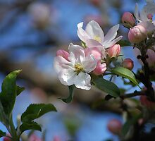 Apple Blossoms Are Out by Jonice