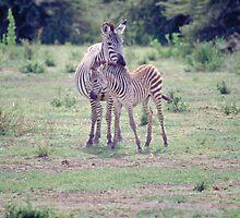 Zebras by TAShaw