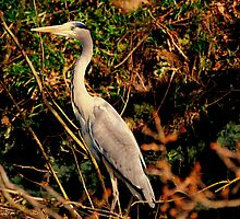 Heron on Canal Bank by Stan Owen