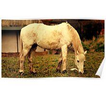 Grey Foal Poster