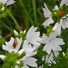 White Musk Mallow and Butterflies by Tracy Wazny