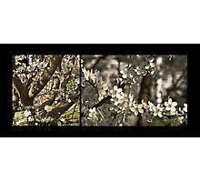 Plum Blossoms (Art Prints) Photographic Print