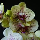 Phalaenopsis -  Orchid by Gilberte