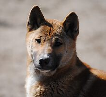 New Guinea Singing Dog by BeckyMP