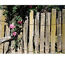 Rambling Rose- Hill End Photographic Print