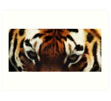Tiger Eyes - Colchester Zoo Art Print