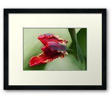 Awaken -Tulip Framed Print