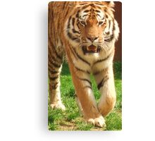 Tiger Prowling - Colchester Zoo Canvas Print